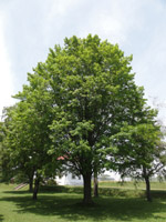 Sugar Maple Is A Large Tree 35 M 115 Or More High And Up To 150 Cm 5 In Diameter